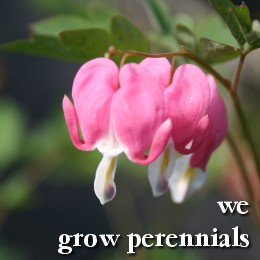 We grow perennials