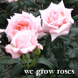 We grow roses