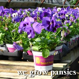 We grow pansies