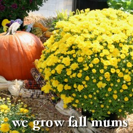 We grow fall mums