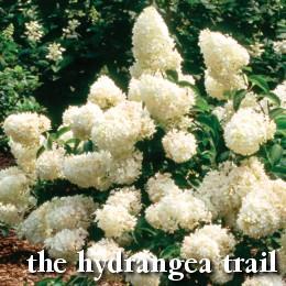Hydrangea trail